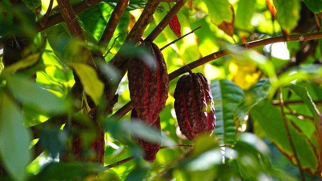 cacao sur l'île de la réunion